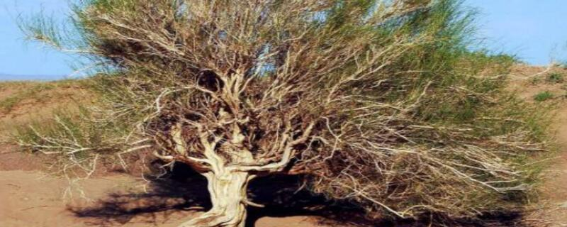 沙柳和梭梭树哪个厉害
