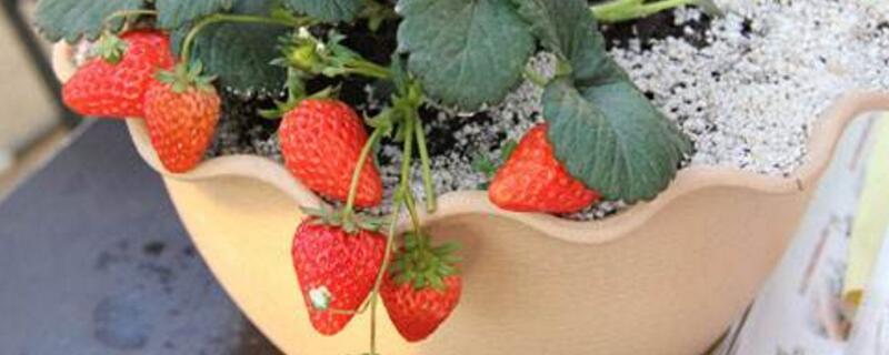 室内草莓怎么养