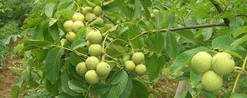 核桃树适合哪个地区