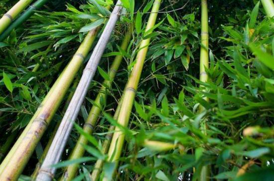 怎么能把竹子连根杀死