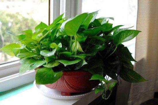 可以吸收甲醛的植物_孕妇房间可以放绿萝吗