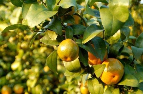 金桔树什么时候修剪,春季2~3月剪枝最为适宜