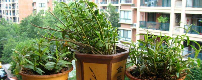 盆栽石斛兰的养殖方法