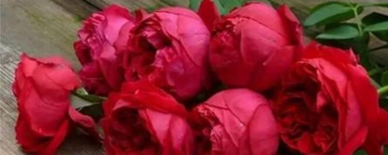 红龙月季是四季开花吗