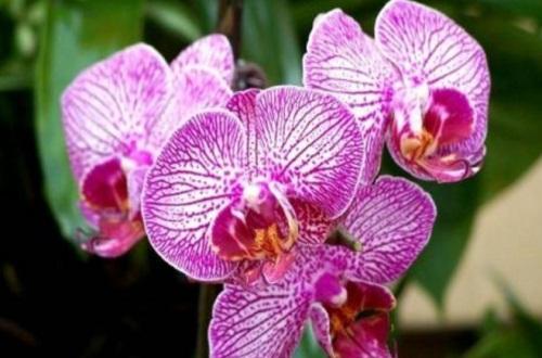 蝴蝶兰用什么肥,磷钾肥可促进花芽形成