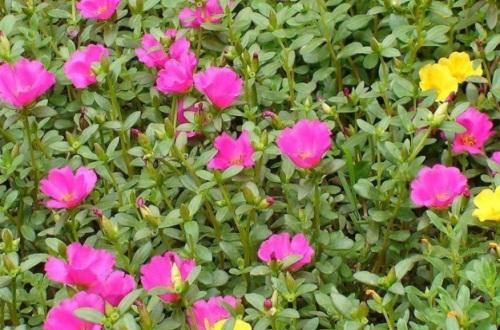 冬天太阳花苗种植方法,4个步骤种植太阳花苗