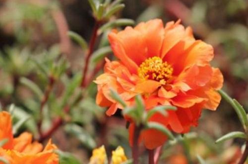 重瓣太阳花有种子吗,有直径2毫米种子