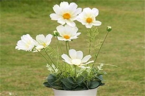 波斯菊一盆种几颗,种15~27颗种子使其茂盛