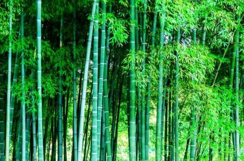 为什么院里不栽竹子,风水不好易招阴气