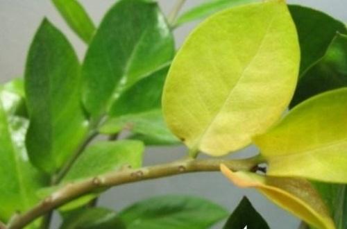 金钱树叶子黄怎么修剪,基部处修剪并涂抹愈合剂