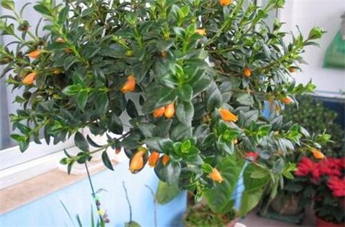 金鱼花的花期,每年在春秋冬三季开花