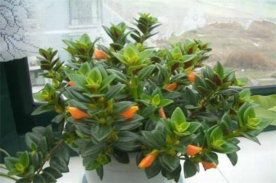 金鱼花什么时候开花,在春秋冬三季开花