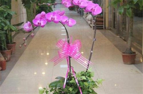 蝴蝶兰怎么种,4个步骤种植美丽蝴蝶兰