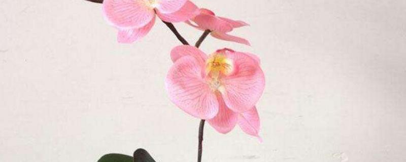 蝴蝶兰花谢了还能养吗