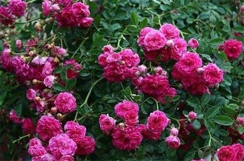 红木香花怎么种植