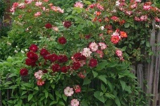 木香花的缺点,害怕土壤潮湿使其烂根