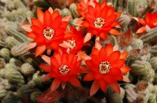 仙人指有几�郑�4种品种花色丰富