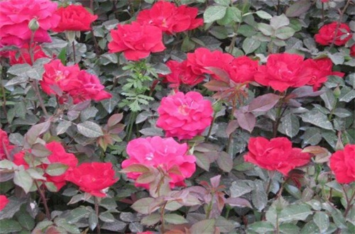 红木香花是月季吗