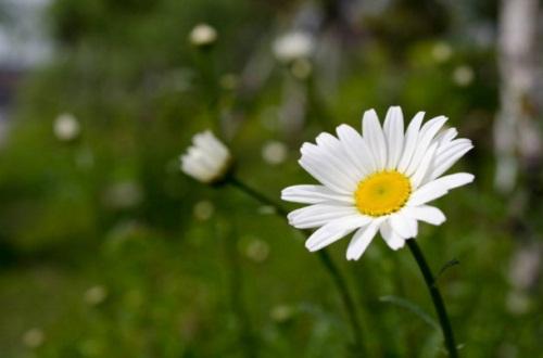 玛格丽特花几月开花