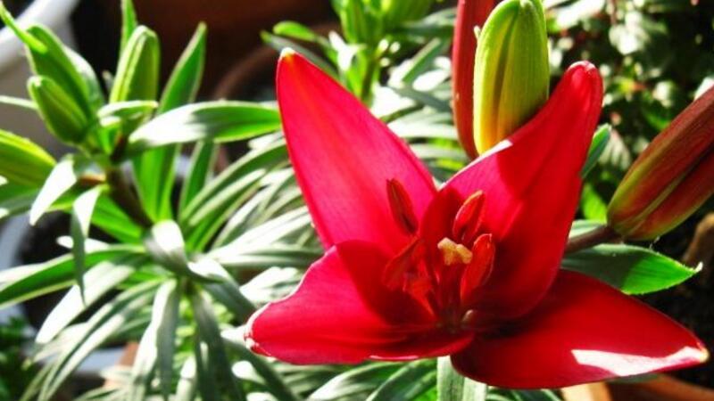 百合花放在室内有毒吗