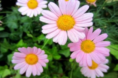 玛格丽特花是不是雏菊