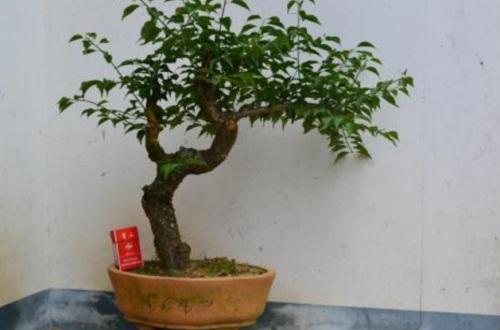 罗汉松小盆栽怎么养,4种方法养殖罗汉松