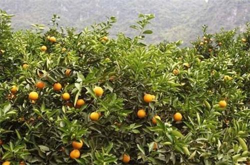 金桔树耐寒吗,冬季可耐0℃的温度