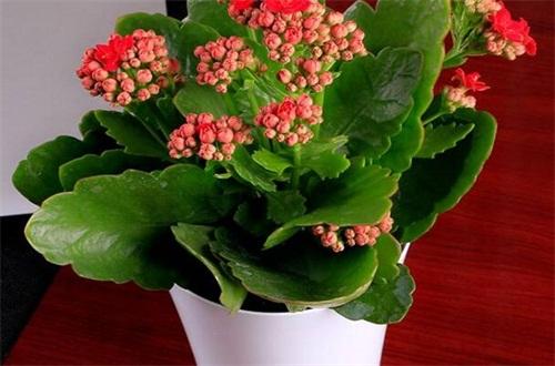 水养长寿花怎么养茂盛,4个要点教你养爆盆