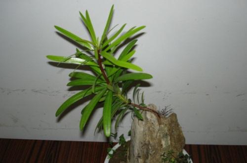 罗汉松几月发芽,播种后10天内便可发芽