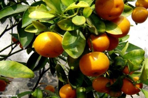 四季桔一年长几次果实,每年结果一次