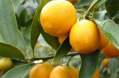 金桔树养殖方法,营养土栽种并春季修剪