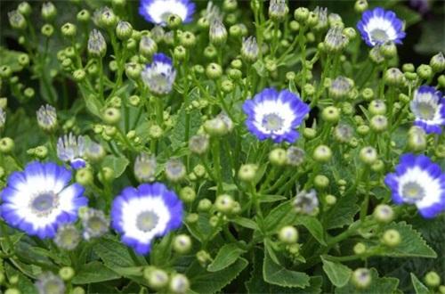 瓜叶菊只能养一年吗,可养殖1~2年左右