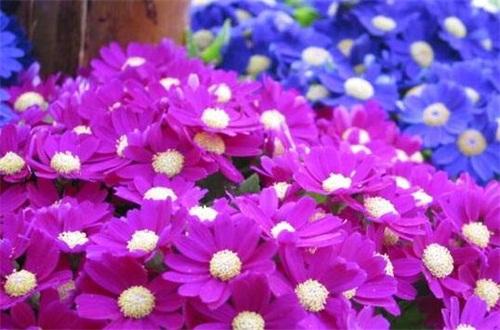 瓜叶菊的繁殖方法,扦插播种两种繁殖方法