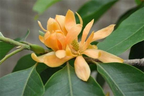 黄桷兰和白兰花的区别,四种方法区分两者