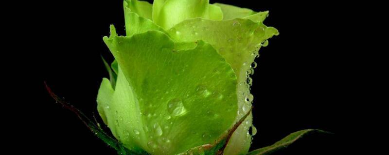 绿色玫瑰花语叫什么