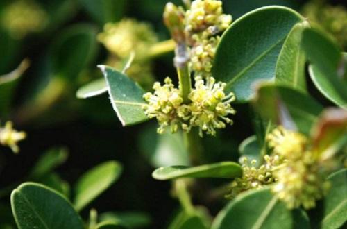 小叶黄杨怎么催芽,喷洒赤霉素或施加尿素