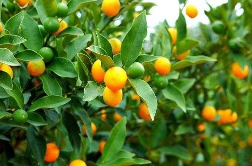 室内金桔树的养殖方法,散光照射并湿润养殖