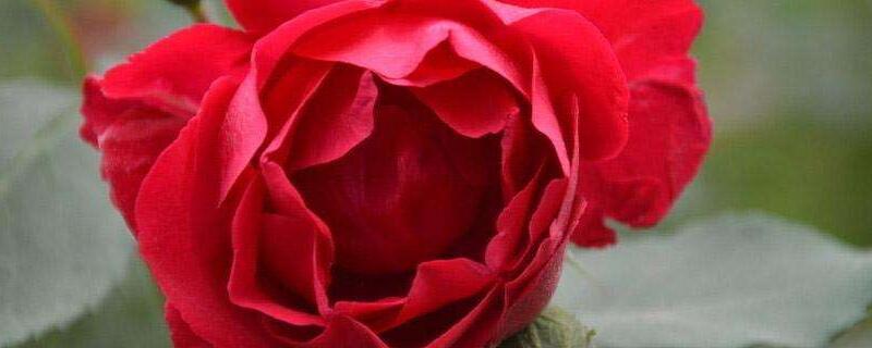 紅色月季花的花語