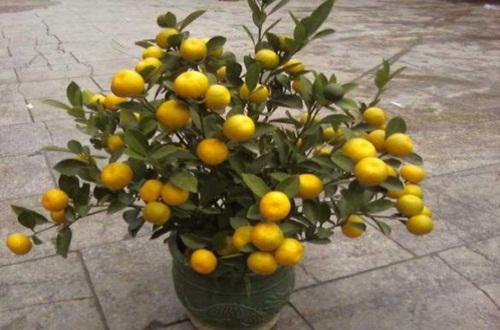 四季桔盆栽价格,市场价格5~30元不等
