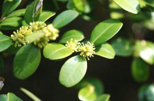 小叶大叶黄杨木区别在哪,小叶黄杨和大叶有什么区别