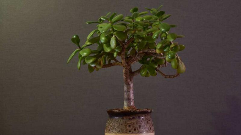 金钱树用什么土栽培
