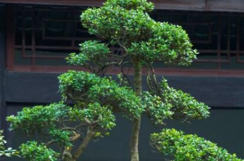 黄杨树杆较长如何矮化,打顶抹芽或拿弯矮化