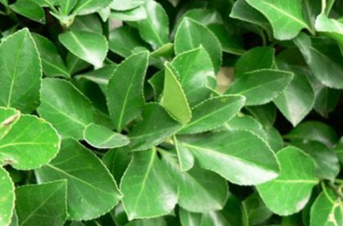 大叶黄杨木有价值吗,观赏价值与经济价值极高