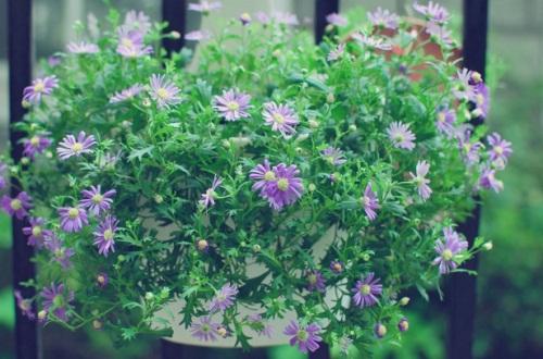 姬小菊的养殖方法,花期施肥并湿润养殖