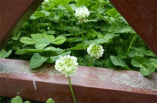 白车轴草盆栽怎么养,4个步骤盆栽养护