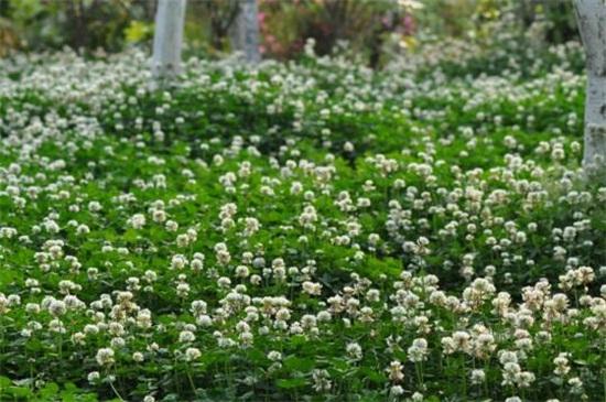 白车轴草常见虫害及防治方法,地老虎换土撒药
