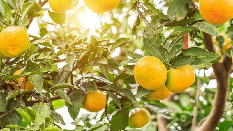 金桔树的养殖方法和注意事项