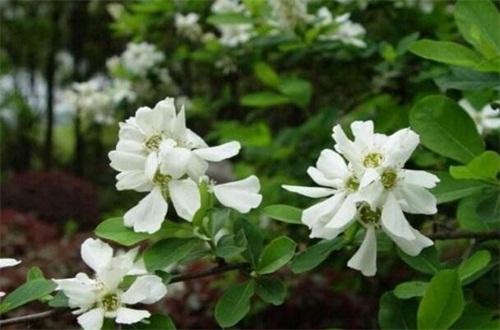白鹃梅的繁殖方法,种子播种栽植生根发芽