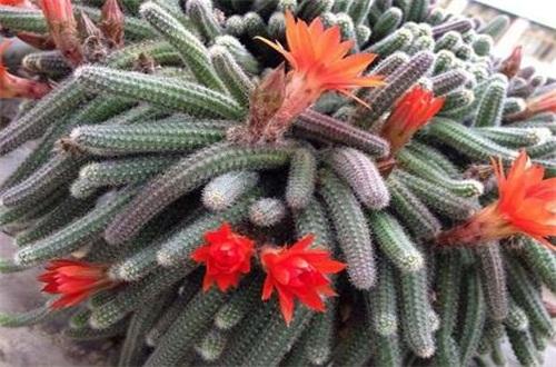 白檀仙人掌怎么养会开花,补充光照追施水肥