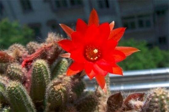 白檀仙人掌不开花怎么办,更换盆土光照养护